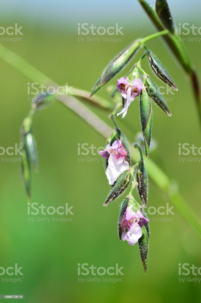 Drooping Alligator Flag Blossoms stock photo