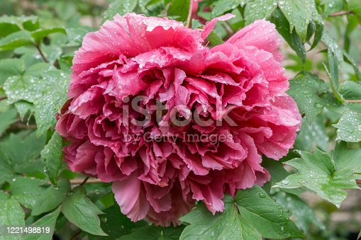 Drooping red Chinese peony in the rain