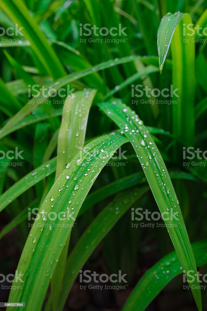 Drop on leaves royalty-free stock photo