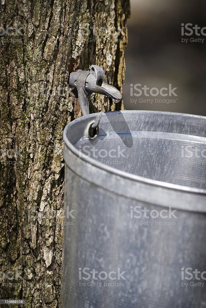Droplet of sap flowing from maple tree into a pail royalty-free stock photo