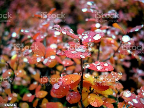 Photo of Droplets of water on the leaves of blueberries. Red leaves of bl
