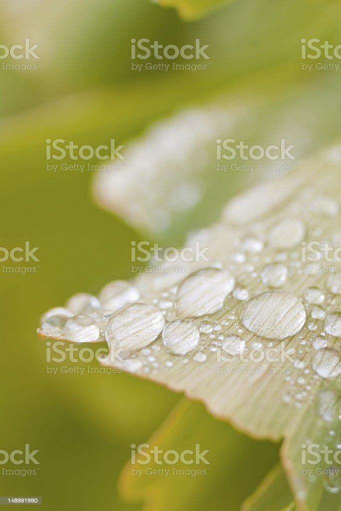 Droplets on a Ginkgo biloba leaf royalty-free stock photo