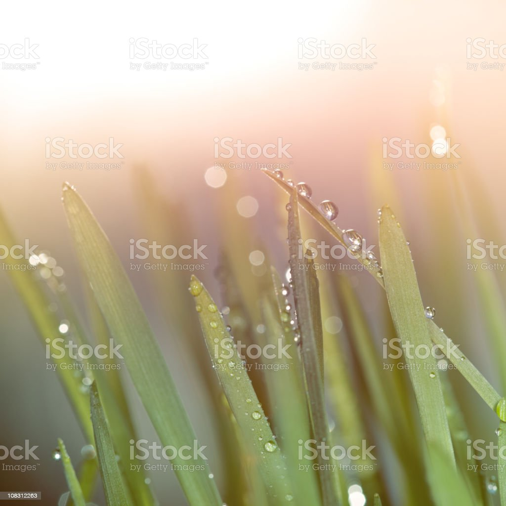 Droplets on blades of wheat grass during sunset royalty-free stock photo