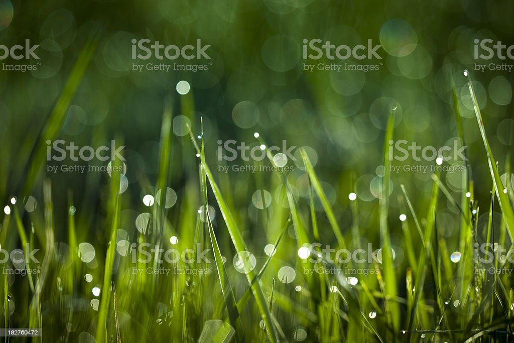 Droplets on blades of wild grass royalty-free stock photo