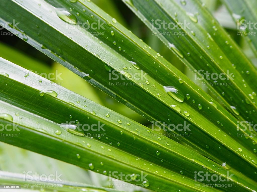 Droplets on palm tree foto de stock libre de derechos