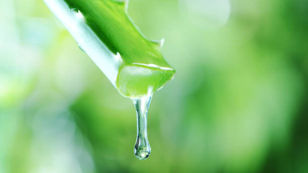 Dropping aloe vera liquid from leaf. stock photo