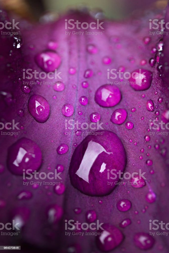 drops of dew on a purple flower leaf close-up - Royalty-free Blossom Stock Photo