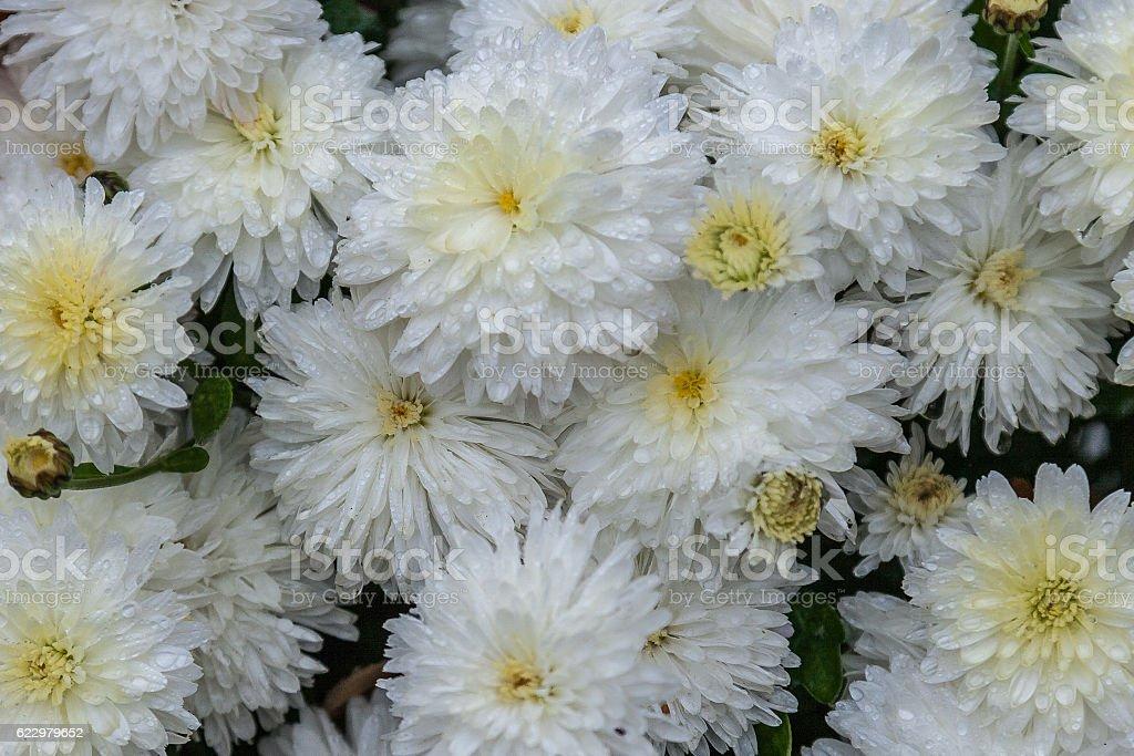 Drops Of Rain On White Chrysanthemum Flowers In Garden Stock Photo
