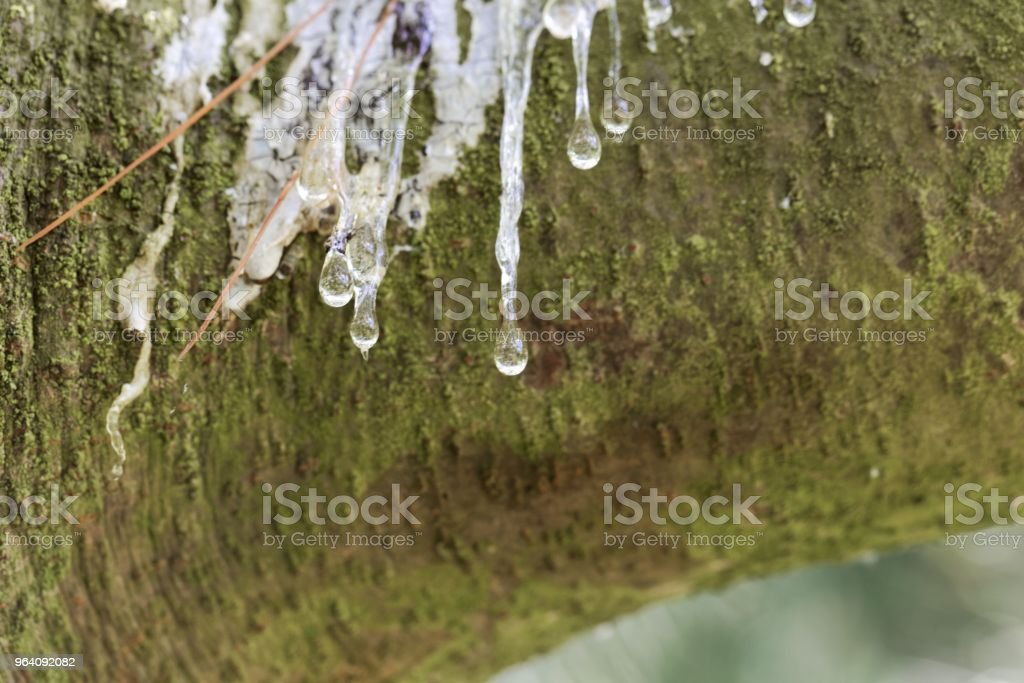 Drops of resin on the bark of an eastern white pine - Royalty-free Aging Process Stock Photo