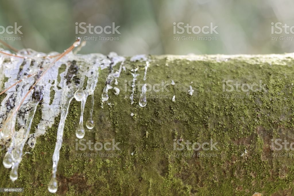 Drops of resin on the bark of an eastern white pine stock photo
