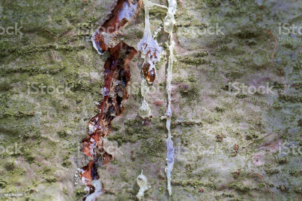 イースタン ホワイト パインの樹皮に樹脂の滴 - こはくのロイヤリティフリーストックフォト