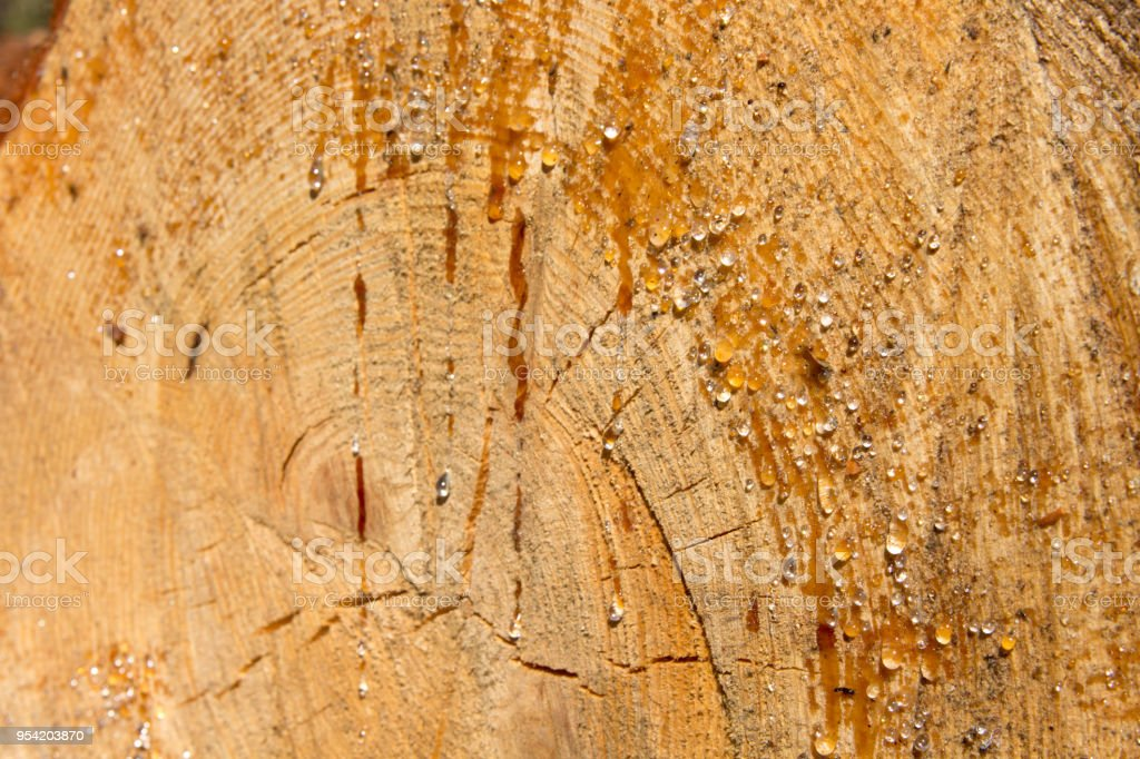 Drops of resin on the trunk of a felled trunk tree glisten on a Sunny...