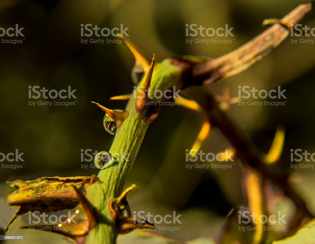 Drops of water on a  thorn green plant with yellow. Стоковые фото Стоковая фотография