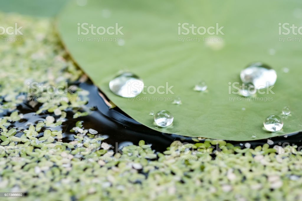 Drops on the lotus leaf - Royalty-free Abstract Stock Photo