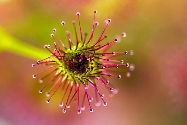 Drosera porrecta, Drosera porrecta,carnivorous plant, Western Australia carnivorous stock pictures, royalty-free photos & images