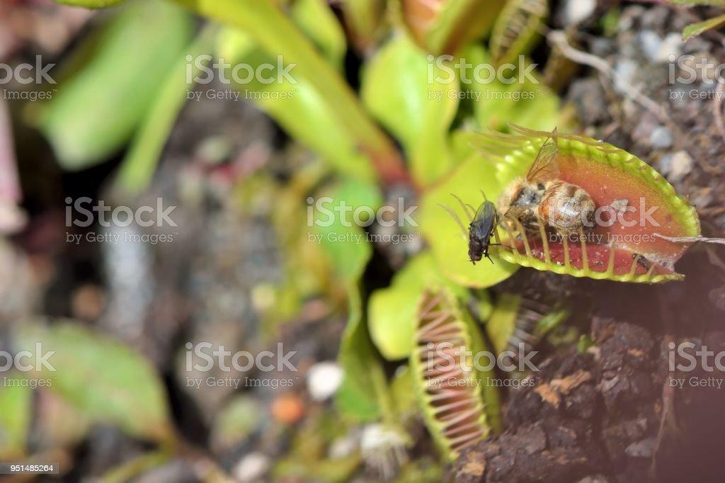 Droseraceae,Carnivorous plants/insectivorous plants. stock photo