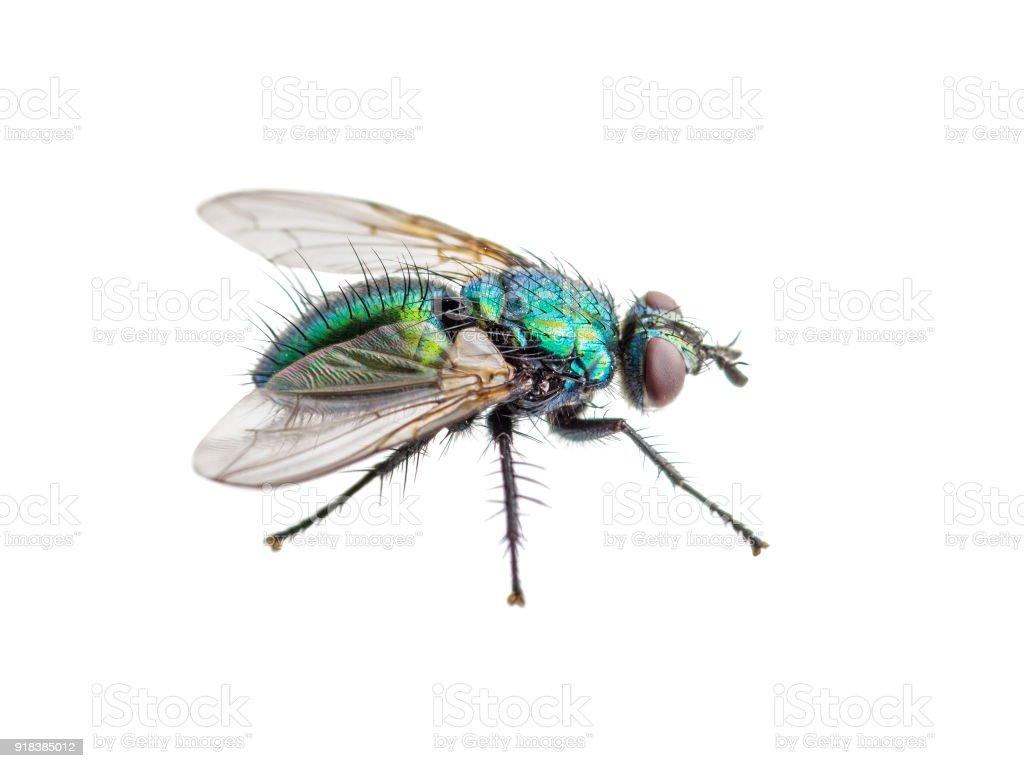 Fotografía de Drosophila Mosca Insecto Díptero Aislado En Blanco y ...