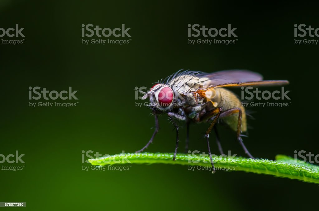 Drosophila Fruit Fly Diptera Insect on Green Grass stock photo