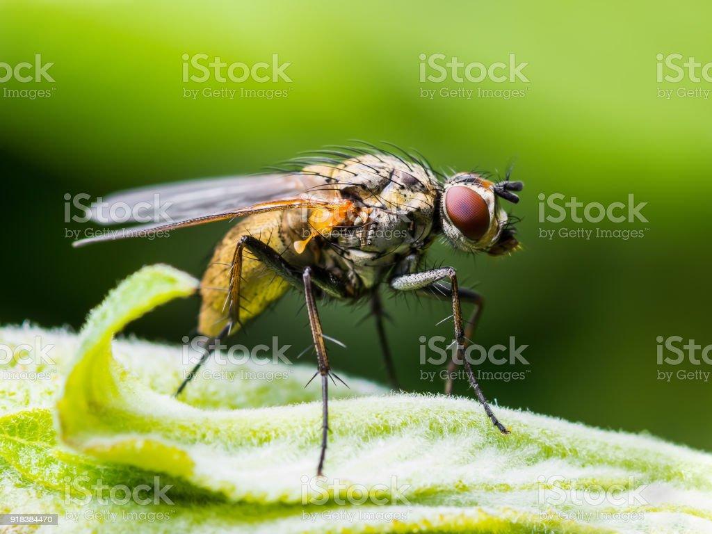 Fotografía de Drosophila Mosca De La Fruta Diptera Insectos En Hoja ...