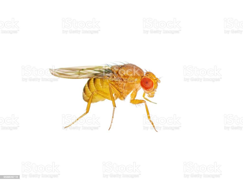 Drosophila Fruit Fly Insect Isolated on White Background stock photo