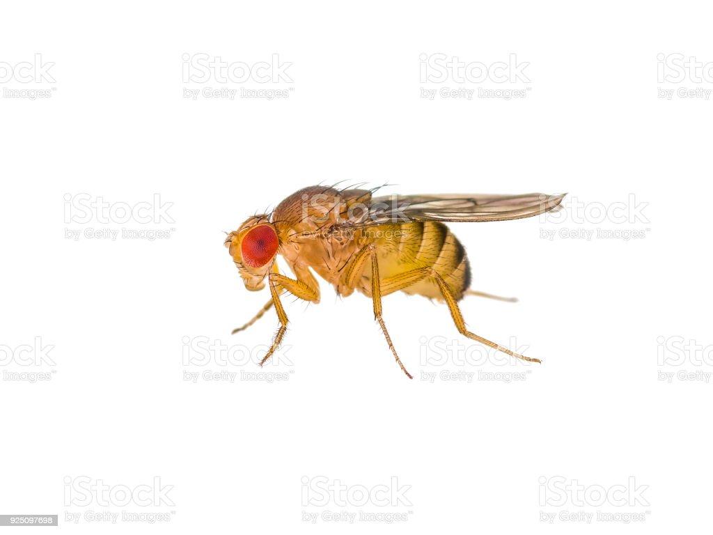 Drosophila Fruit Fly Insect Isolated on White stock photo