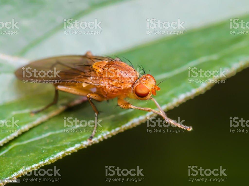 Drosophila Fruit Fly Insect on Leaf Macro Close-up stock photo