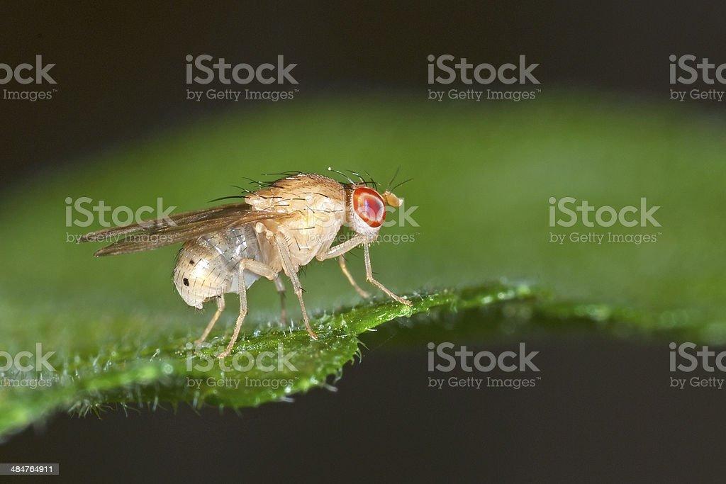 Drosophila melanogaster fly stock photo