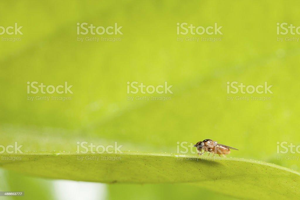 Drosophila stock photo