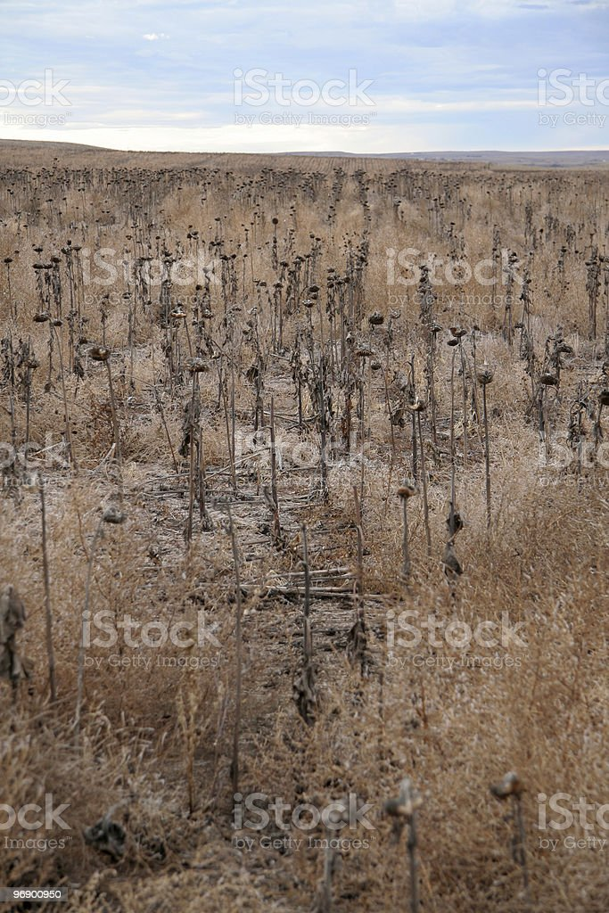 Drought affected Sunflower Crop royalty-free stock photo