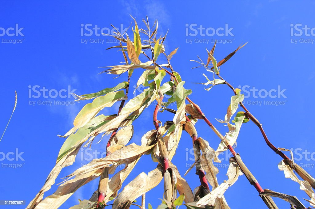 Drought and a Blighted Corn Crop stock photo