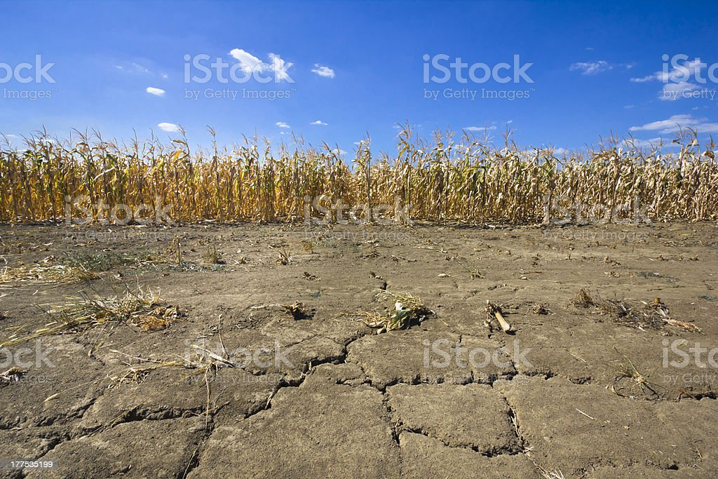 drought corn field on cracked thirsty land thirsty land and dry corn field as a result of a long time drought. cracks in the land are in foreground and dry corn stems in background. photo is taken with DSLR camera and wide angle lens on very hot, summer day. Agricultural Field Stock Photo