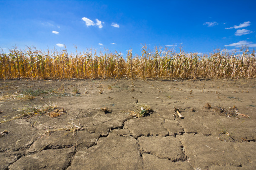 Drought Corn Field On Cracked Thirsty Land Stock Photo - Download Image Now