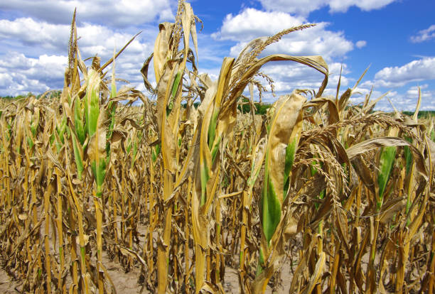 drought damaged cornfield - drought stock pictures, royalty-free photos & images