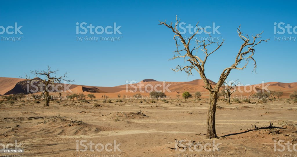Drought trees near dune 45 stock photo
