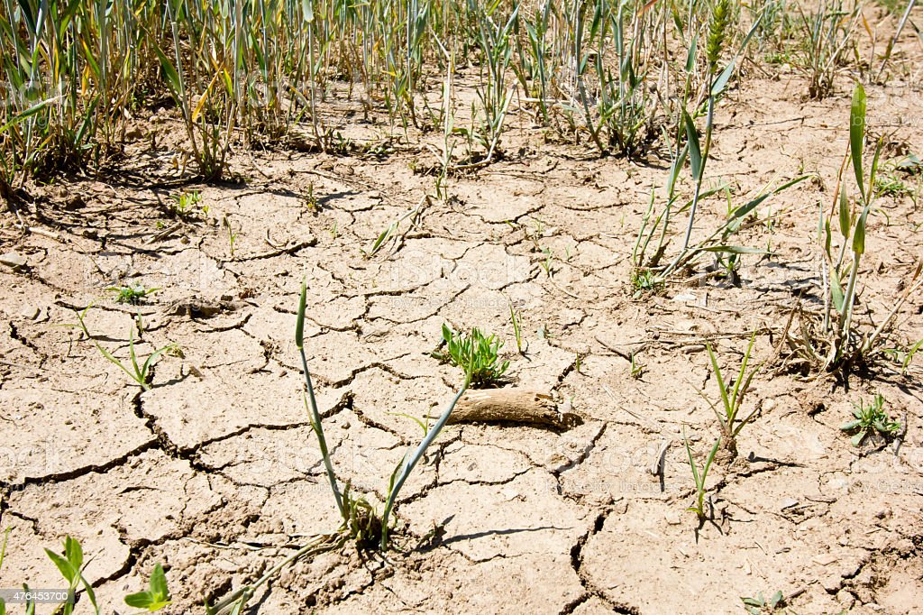 drought wheat field on cracked thirsty land stock photo