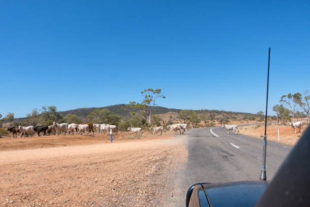 Droughtmaster cattle crossing country road in rural Queensland stock photo