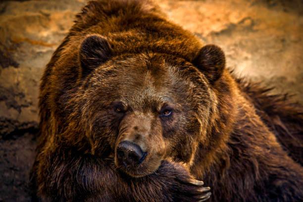 Drowsy Bear stock photo