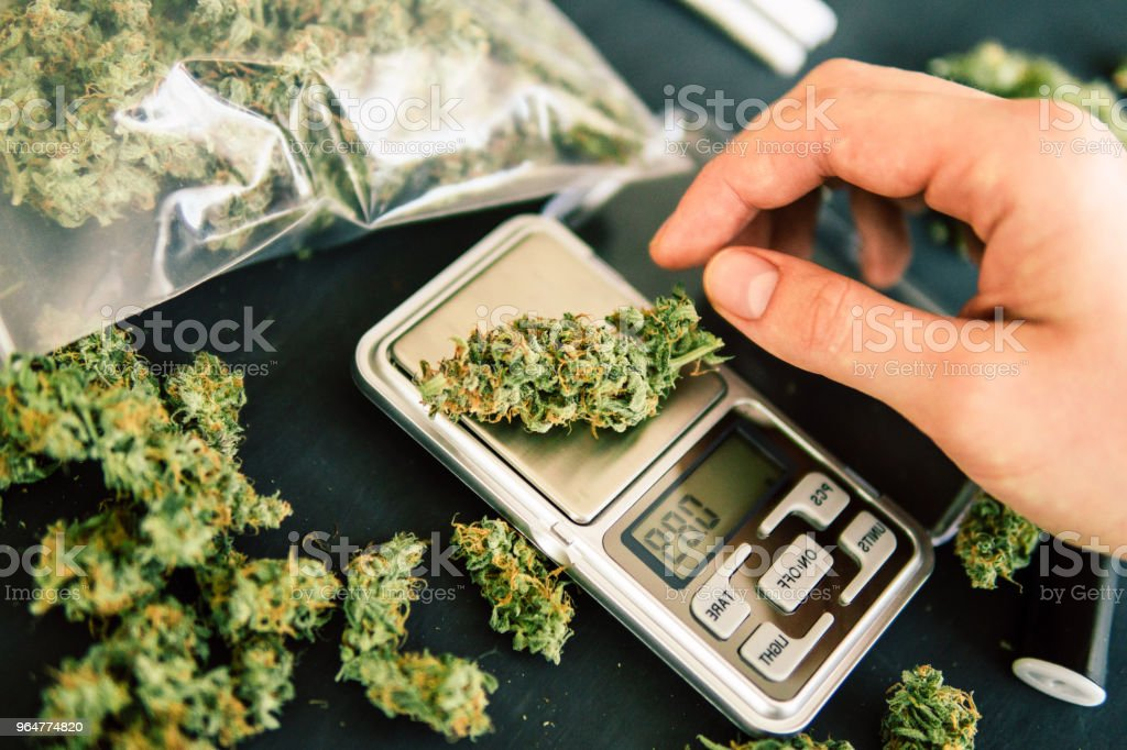 A drug dealer weighs cannabis flower marijuana on a scales concept of legalizing herbs weed royalty-free stock photo