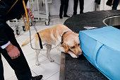 Drug detection labrador dog at the airport Horizontal view.