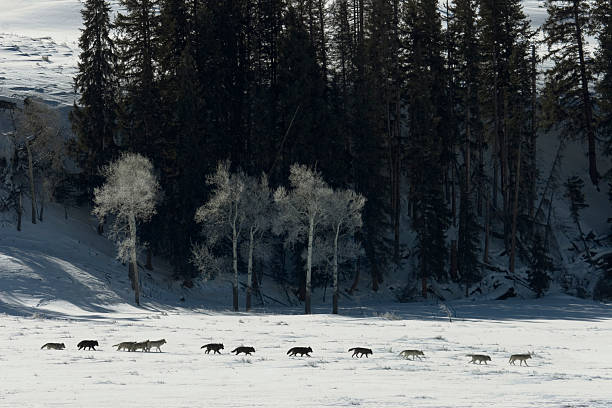 druid wolf pack of gray timber wolves on snow yellowstone - gråvarg bildbanksfoton och bilder
