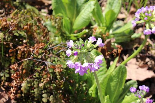 Drumstick Primrose flowers - Primula Denticulata