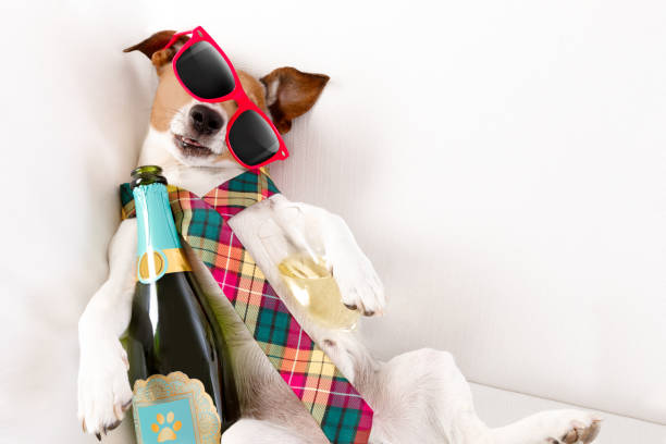 drunk hangover  dog drunk jack russell terrier dog resting  or sleeping hangover with headache, with bottle and glass , wearing sunglasses and tie aftereffect stock pictures, royalty-free photos & images