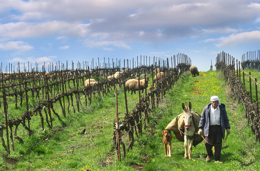 Druze shepherd with his flock and donkey and dog in the Golan Heights, Israel, March 4, 2018