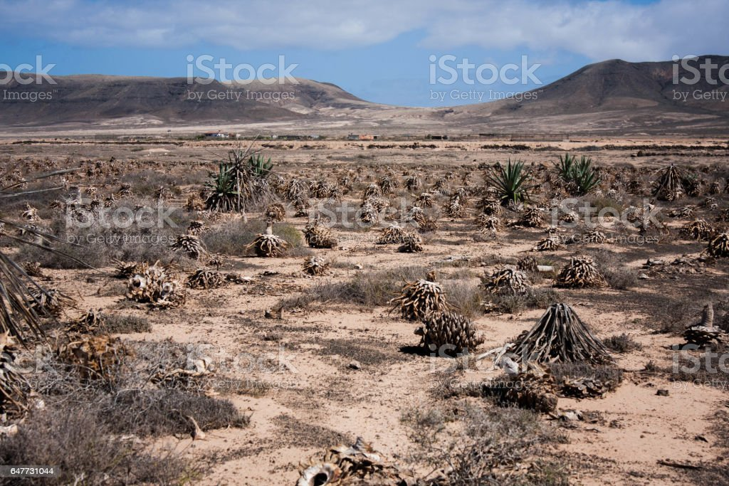 Dry agave field stock photo