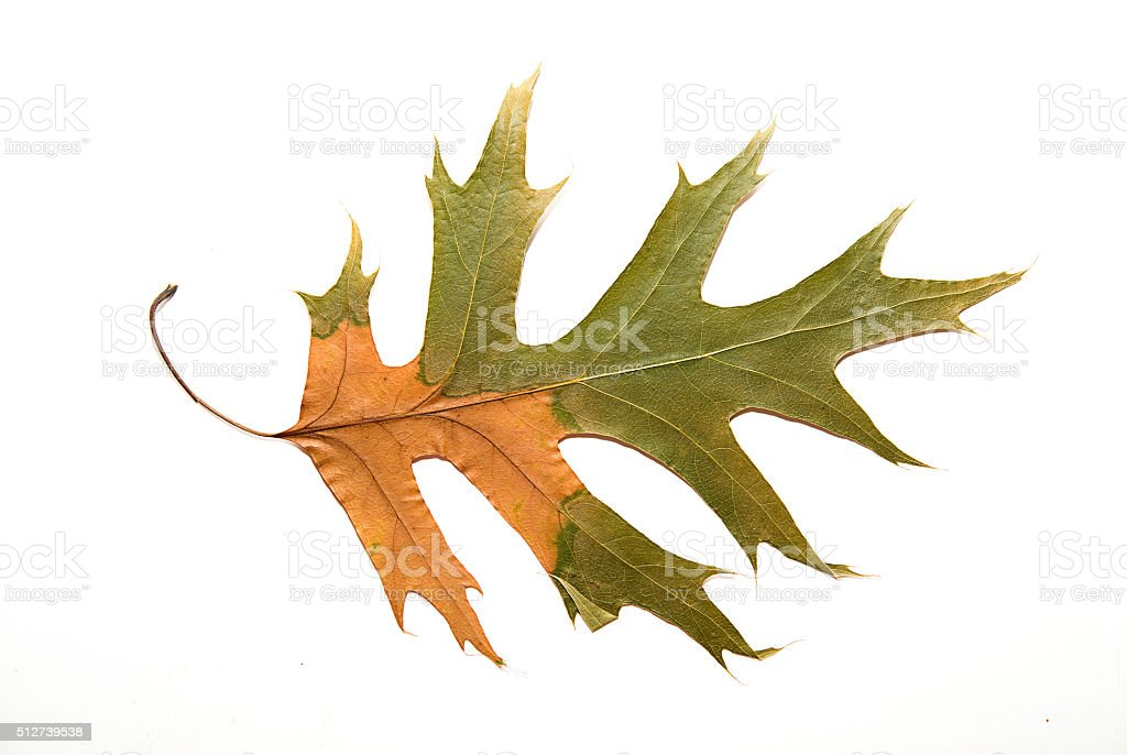 Dry autumn oak leaf on  over white stock photo