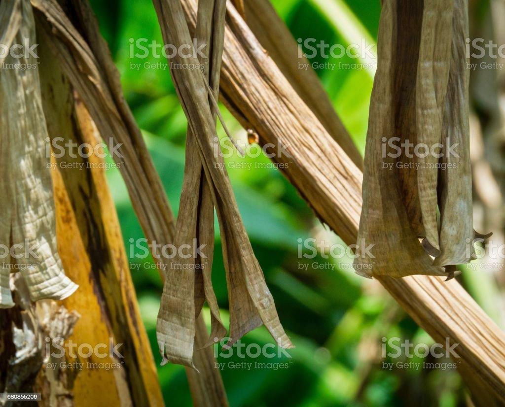 Dry Banana Leaves In Summertime On Green Garden Background royalty-free stock photo