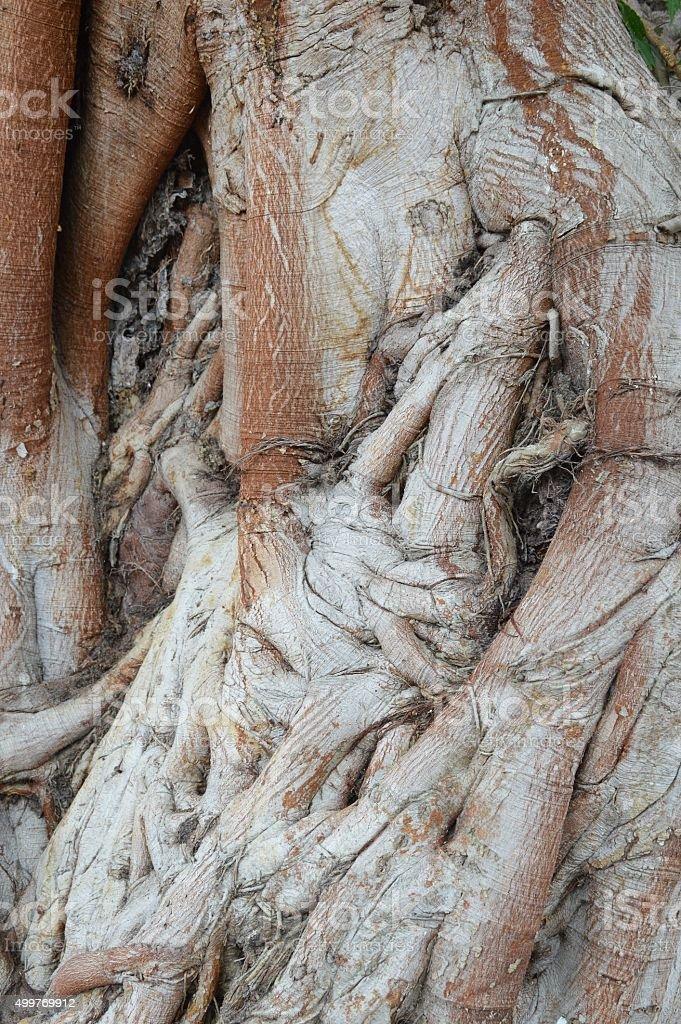 dry bark bodhi tree texture stock photo