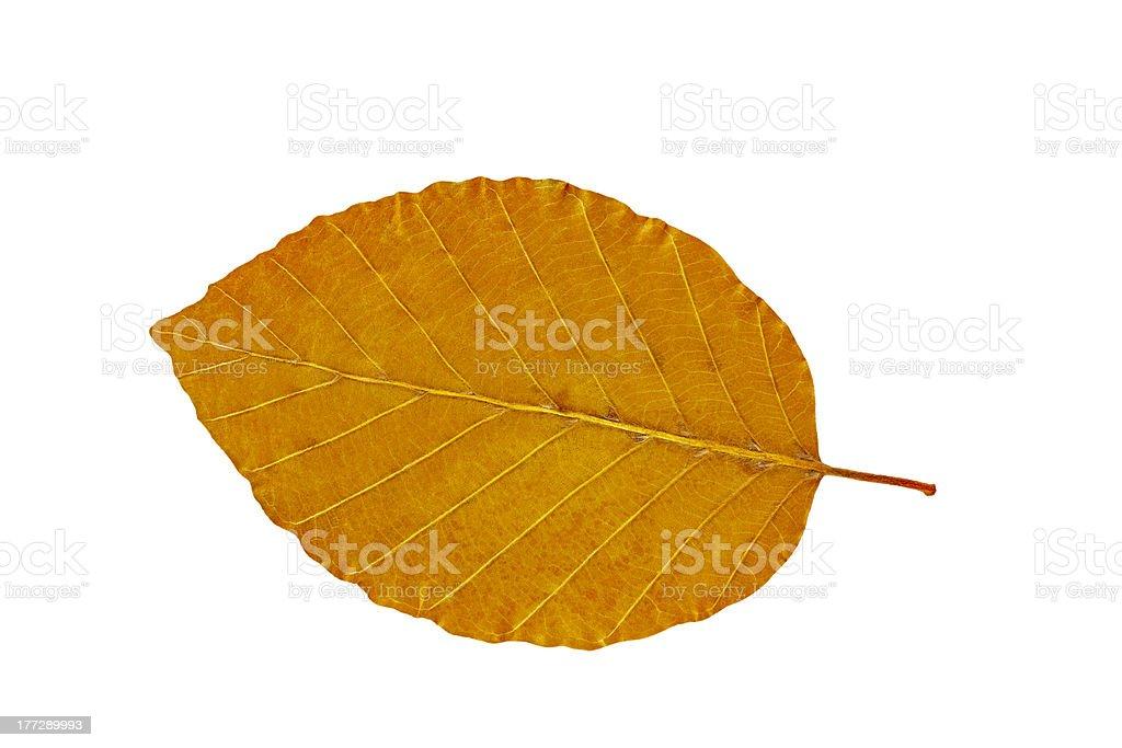 Dry beech  leaf stock photo