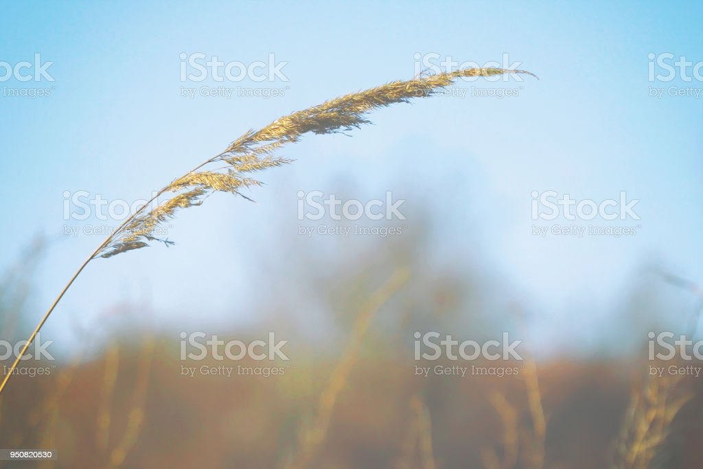 Dry blade of grass swaying in the wind stock photo