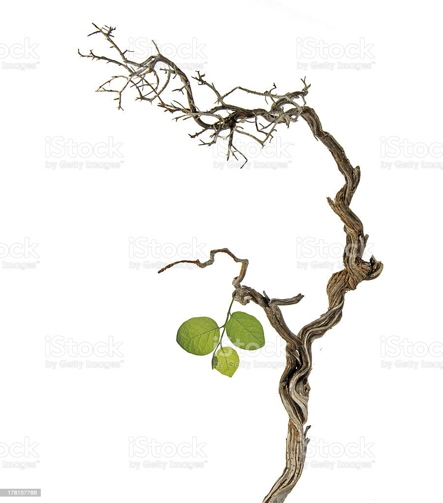 Dry branch with new leaf royalty-free stock photo